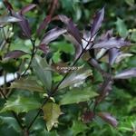 Osmanthus heterophyllus Purpureus