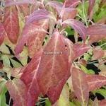 Hydrangea serrata Hakucho (1)