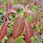 Hydrangea serrata Hakucho (2)