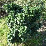Ligustrum japonicum Rotundifolium (2)
