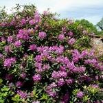 Rhododendron ponticum (4)