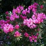 Rhododendron ponticum Graziella