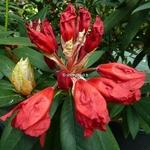Rhododendron Cavalier (4)
