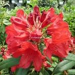 Rhododendron Cavalier (9)