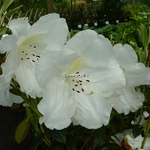 Rhododendron Fragrantissimum (2)