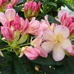 Rhododendron yakushimanum Percy Wiseman (2)