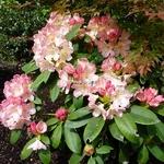 Rhododendron yakushimanum Percy Wiseman (3)
