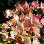 Rhododendron yakushimanum Percy Wiseman (4)