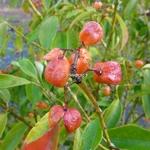 Euonymus myrianthus (4)