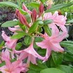 Rhododendron Jolie Madame