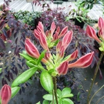 Rhododendron Jolie Madame (1)