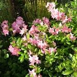 Rhododendron Jolie Madame (5)