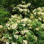 Rhododendron Daviesii (2)