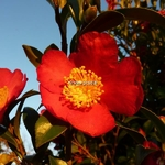 Camellia vernalis Yuletide (2)