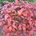 Nandina domestica Fire Power (2)
