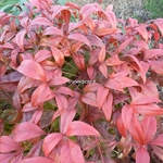 Nandina domestica Fire Power (1)