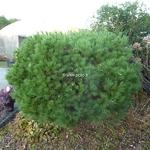 Pinus stobus Nana