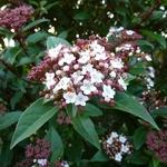 Viburnum tinus Spirit (3)
