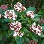 Viburnum tinus Spirit (4)