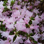 Rhododendron Ho-o (1)
