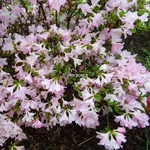 Rhododendron Ho-o (2)