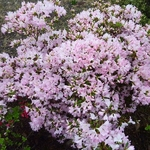 Rhododendron Ho-o (3)