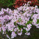 Rhododendron Ho-Oden (1)