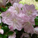 Rhododendron Ho-oden (3)