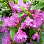 Rhododendron Purple Splendor (3)