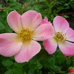 Rosa Happy Chappy (1)