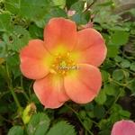Rosa Happy Chappy (3)
