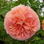 Rosa Abraham Darby (2)