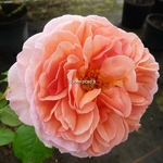 Rosa Abraham Darby (1)