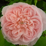 Rosa Abraham Darby (3)