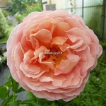 Rosa Abraham Darby (4)
