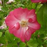 Rosa Marjorie Fair (1)