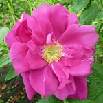 Rosa rugosa Exception