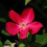 Rosa odorata Sanguinea (2)