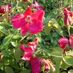 Rosa odorata Sanguinea