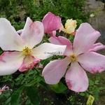 Rosa odorata Mutabilis (7)