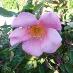 Rosa odorata Mutabilis (8)