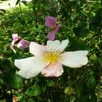 Rosa odorata Mutabilis (9)