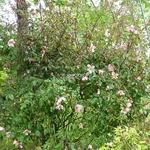 Rosa odorata Mutabilis (6)