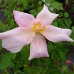 Rosa odorata Mutabilis (5)