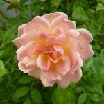 Rosa Phillys Bide