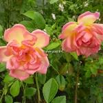 Rosa Phyllis Bide (2)