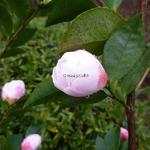 Camellia Cinnamon Cindy (7)
