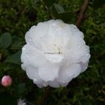 Camellia Cinnamon Cindy (10)