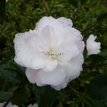 Camellia Cinnamon Cindy (8)