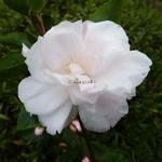 Camellia Cinnamon Cindy (6)